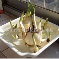 水仙水仙花种球绿植盆栽办公室水培植物洋水仙大球水培花卉