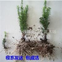 正宗曼地亚红豆杉盆景矮化品种红豆杉盆栽红豆杉苗规格齐全