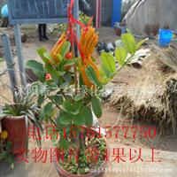 带果子金佛手源产地直销/带果佛手苗盆景室内花卉庭院