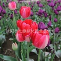 荷兰进口郁金香种球批发盆栽水培郁金香当年开花