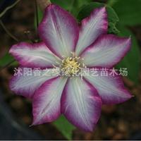 铁线莲种根球根花卉攀藤植物当年开花多种颜色