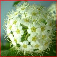 出售绿化苗木灌木类【李叶绣线菊】笑靥花规格齐全量大优惠