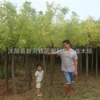 华宝苗木场秋季优质推出畅销品种;黄金槐,黄槐,国槐,规格齐全