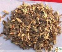 全国正宗雪松种子直销进口雪松种子,银杏种子,保证质量。