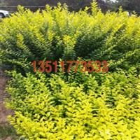 供应优质种子花木种子皂角种子花卉种子批发量大优惠
