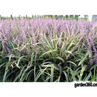 批发供应;绿化苗木;四季常青、适应耐寒、践踏、金边麦冬、金边