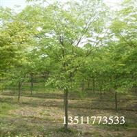买榉树.请找太航苗木.大量供应.江苏榉树价格.榉树批发价格