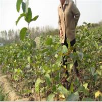 供应:行道树木、绿化苗木嫁接、紫玉兰、红玉兰、规格齐全