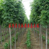供应园林绿化苗木栾树,黄山栾树,北栾,栾树小苗