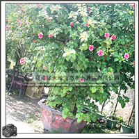 【扶桑花树桩】重瓣红花、造型树桩、园林绿化苗木