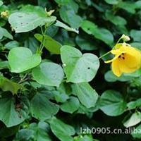 黄槿|防沙防潮|园林风景树|绿化苗木|大量批发价格优惠