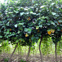 【黄槿】园景树、海岸防护树