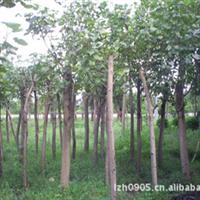 福建绿大地:绿化苗木【黄槿】