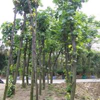 【黄槿】开花期长、园林绿化苗木