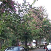 福建绿大地【艳紫荆】园林绿化苗木、常绿乔木、行道树