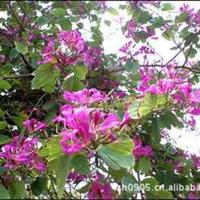 福建绿大地【红花紫荆】园林绿化苗木(移植苗)