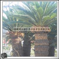 苏铁|绿化苗木|室外盆栽|观赏植物|优质苗木|大量批发