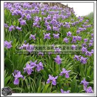 鸢尾|园林绿化苗木|地被植物|优质苗|价格优惠大量批发
