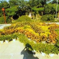 灌木盆栽金叶假连翘园林绿化苗木