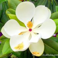 白玉兰|园林绿化苗木批发|园林风景树