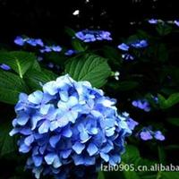 福建绿大地【八仙花】园林绿化苗木优质花卉落叶灌木