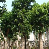 【秋枫】四季常绿、胸径28cm-31cm
