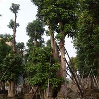 观叶植物【秋枫】湖畔防护树