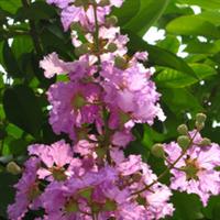 园林绿化苗木【大叶紫薇】袋苗(移植苗)