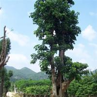 【秋枫】Bischofiajavanica、园林绿化苗木