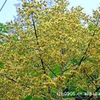 园林绿化苗木【台湾栾树】、庭荫树、(地栽苗)