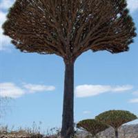 多枝分叉大苗【龙血树】长寿植物观叶植物(生苗)