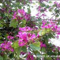 福建绿大地【红花紫荆】园林绿化苗木