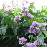 园林绿化苗木、【大叶紫薇】园景树、抗风植物(地栽苗)