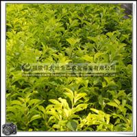 福建绿大地供应|绿化苗木灌木黄心梅绿篱