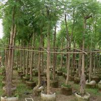 台湾栾树|世界级行道树|株高4-7m|价格优惠大量批发