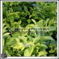 福建绿大地供应|绿化苗木灌木黄心梅灌丛