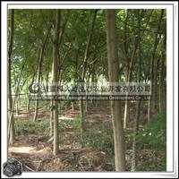 福建绿大地供应|乔木蓝花楹行道树
