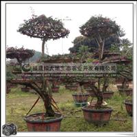 三角梅桩景|常绿灌木|喜温暖湿润气候,不耐寒