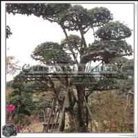 福建绿大地供应 三角梅 桩景 园林用材 观赏盆栽