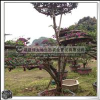 三角梅桩景 室外盆栽 特殊造型 欢迎订购