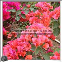 福建绿大地供应 三角梅桩景粉红色花色可以选支持混批