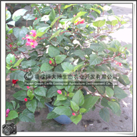 【扶桑花】重瓣紫红花、常绿灌木、园林绿化苗木