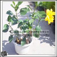 园林绿化苗木、观赏盆栽、黄色花【重瓣扶桑花】