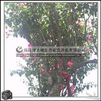 福建绿大地供应 绿化苗木灌木三角梅攀藤灌木