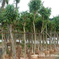 大叶紫薇|园林绿化苗木|防护树|行道树|风景树|优质苗木