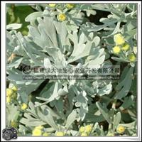 福建绿大地供应|绿化苗木半灌木芙蓉菊花坛、花镜、灌丛
