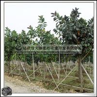 福建绿大地供应|橡皮树胸径15-20公分