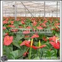 福建绿大地供应|室内观花植物绿化花卉红掌红色粉色