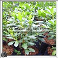 福建绿大地供应|绿化苗木灌木海桐地苗