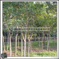 福建绿大地供应 白玉兰桩景盆栽白玉兰小苗